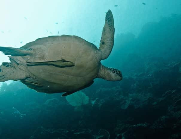 turtle-large