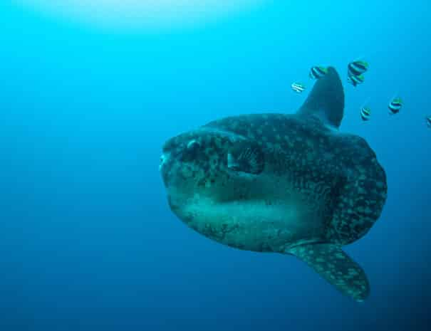 sunfish_mola-mola