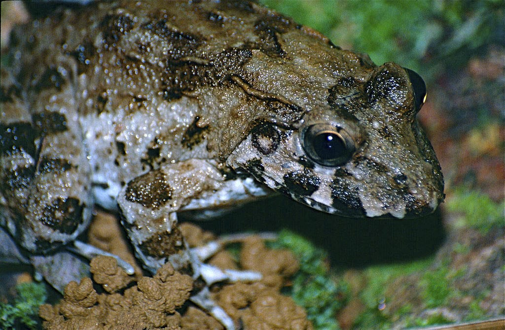 The crab-eating frog is a very special species, being the only amphibian able to live in salt water for longer periods of time.