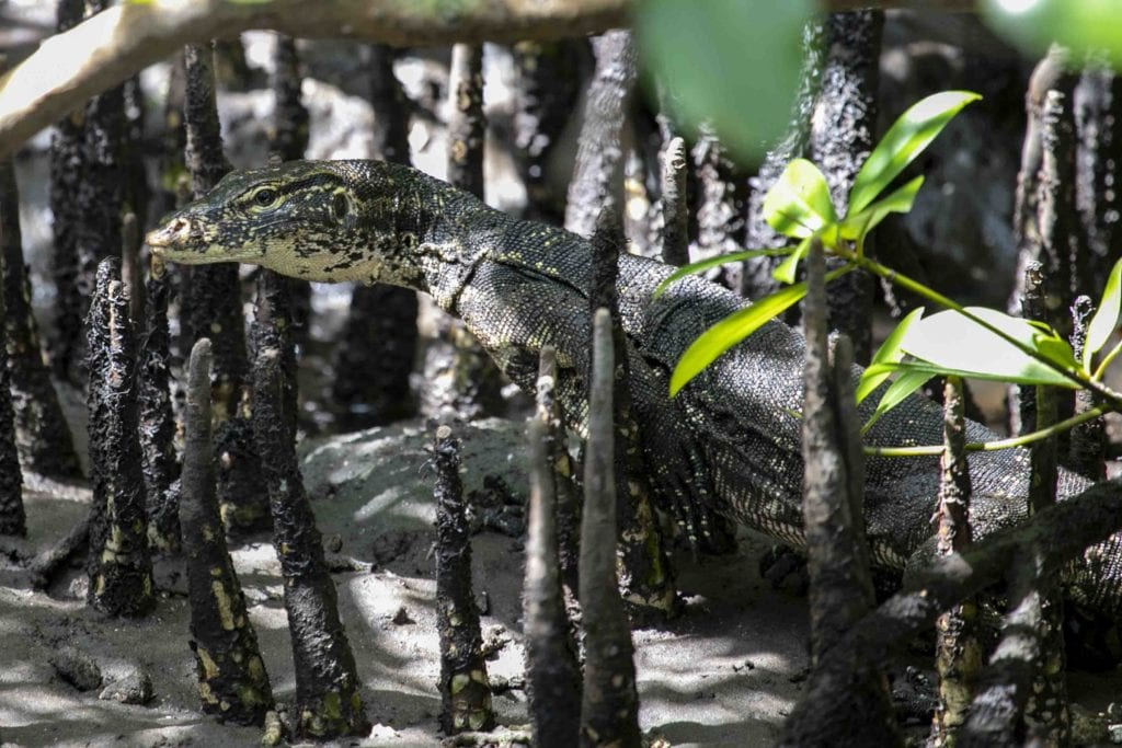 The Asian water monitor is the Nusa islands very own dragon, living in the mangroves around Nusa Ceningan and Nusa Penida.