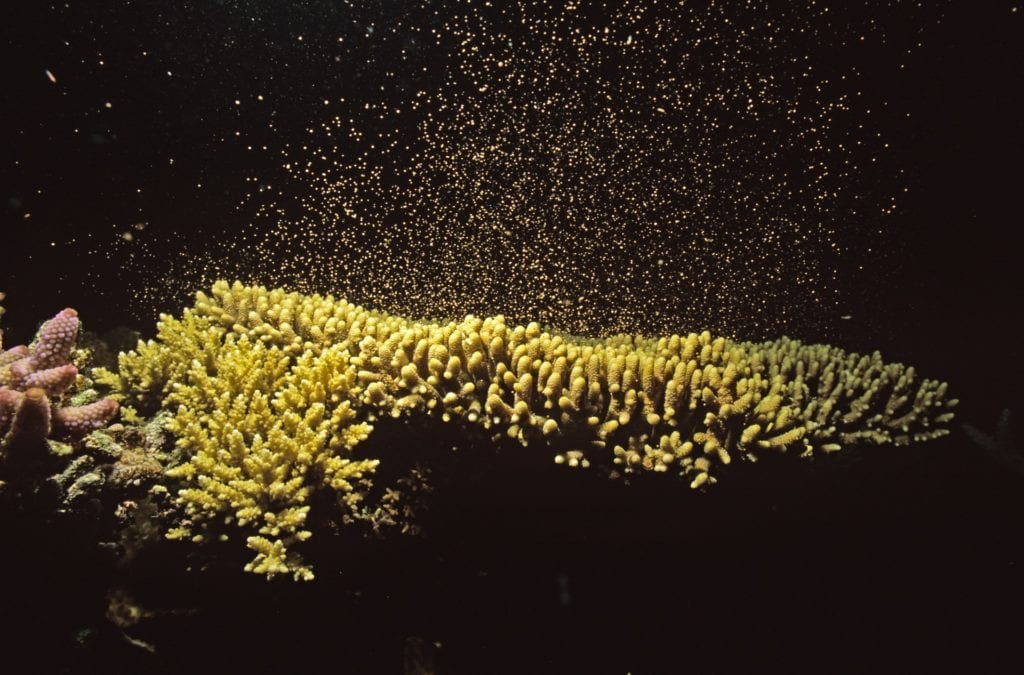 Coral spawning. Sunscreen can do damage to the tiny coral larvae.